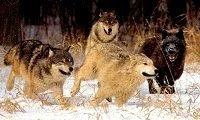 Wolf Behavior Lupine Behavior Running With The Wolveswolf