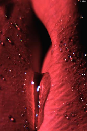 Parte infima de una rosa by Alejandro Bonilla