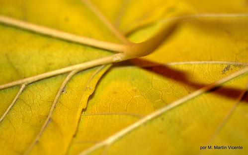 hojas de morera en otoño