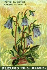 fleurs alpes 4