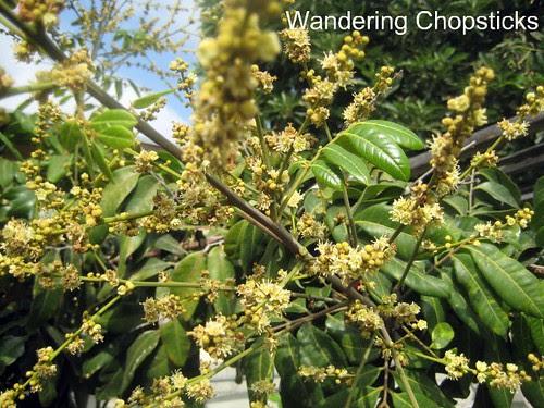 11.13 Longan Blossoms & Fruit 2