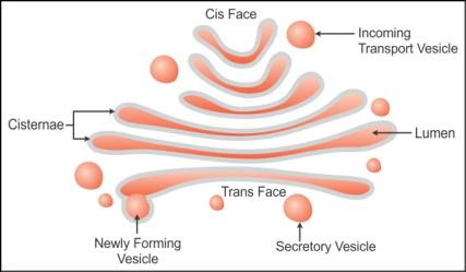 draw a diagram of the golgi apparatus and describe its ...