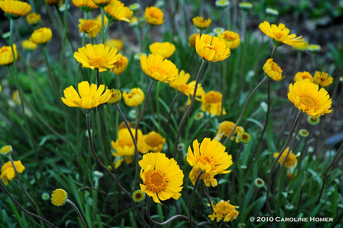 Tetraneuris scaposa  'Four-Nerve Daisy'