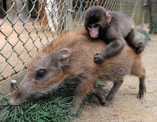 nm_baby_monkey_boar_101019_ssh