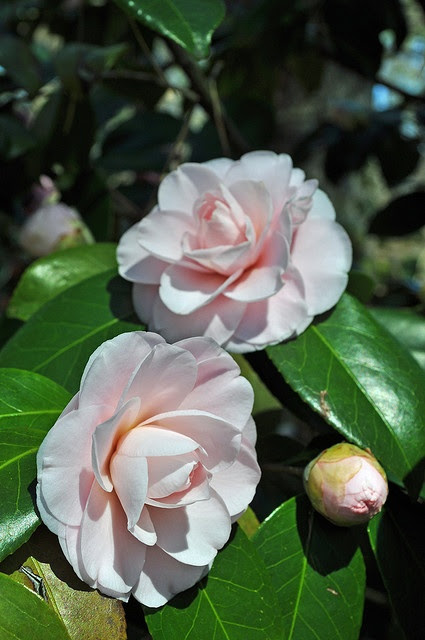 Camellia.. blooms in winter