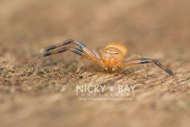 Crab Spider (Thomisidae) - DSC_4062