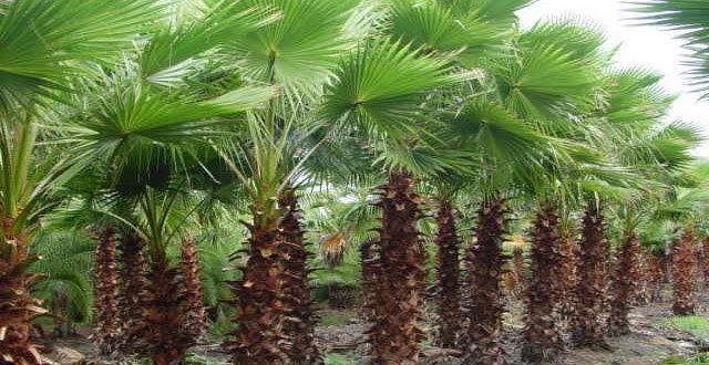 Jacksonvilles Tree Source Jacksonville Jacksonville Beaches