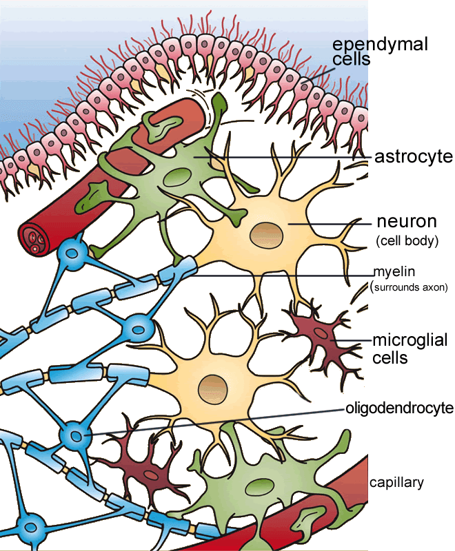 neuroglia cell types labeled