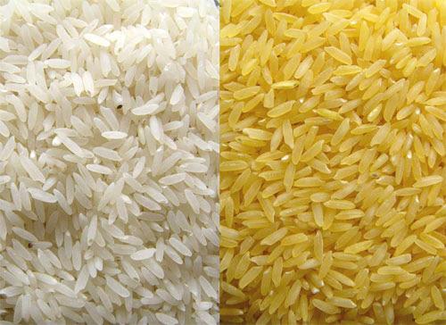 arroz dorado, arroz transgénico, alimentos transgenicos, buen alimento transgénico, golden rice