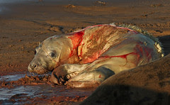 Seal birth 13 (2:32pm)