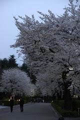 夜桜, オリンピック記念青少年総合センター