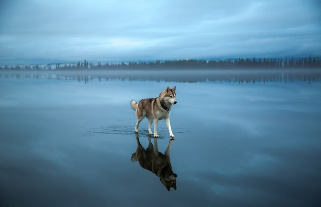 5849160-650-1453188332-Siberian-Husky-On-A-Frozen-Lake_0