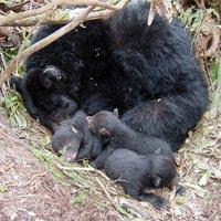 Black Bear mother and cubs in den,, hibernating