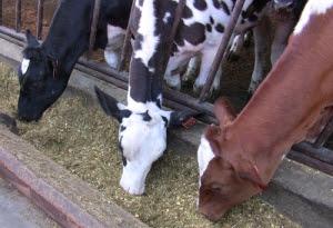 Three milk cows feeding at McClelland Dairy