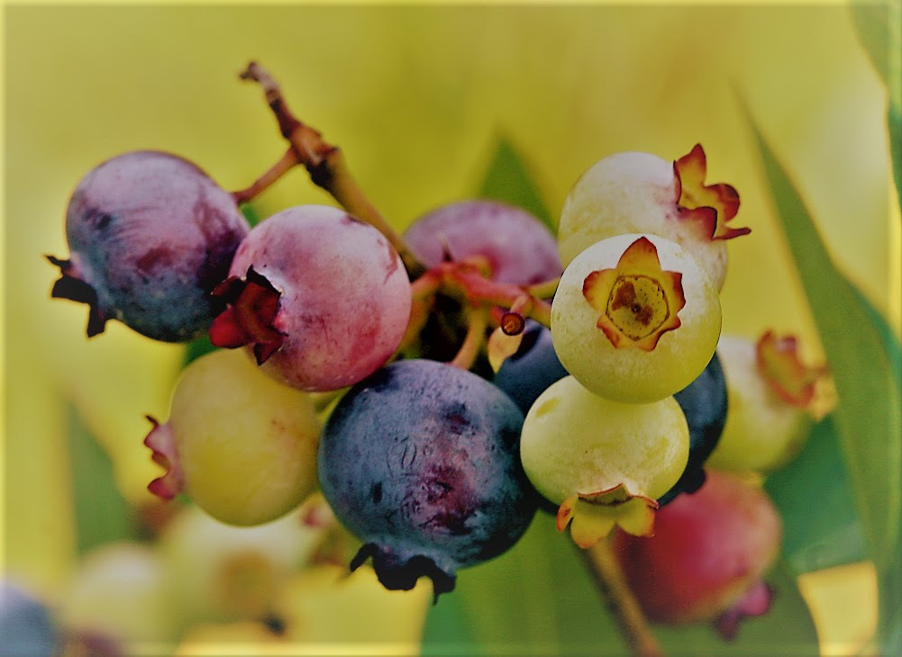 http://upload.wikimedia.org/wikipedia/commons/8/88/PattsBlueberries.jpg