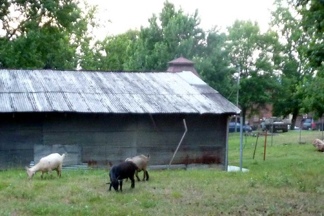 P1020632-2010-06-19-Burnaway-Fundraiser-Goat-Farm-Goats