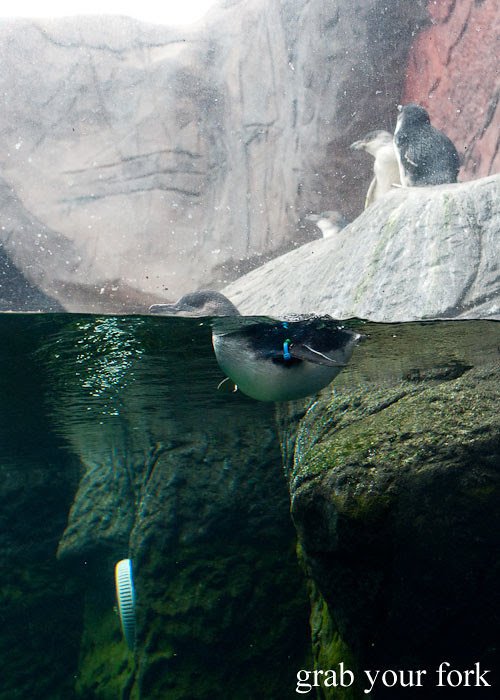 penguin swimming at the international antarctic centre christchurch