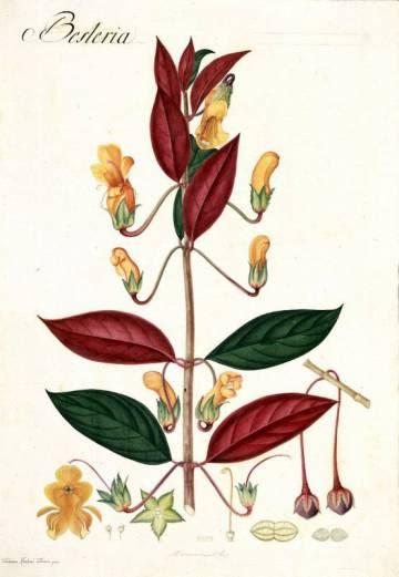 Una de las láminas de Mutis, en la que dibuja una 'Besteria'.