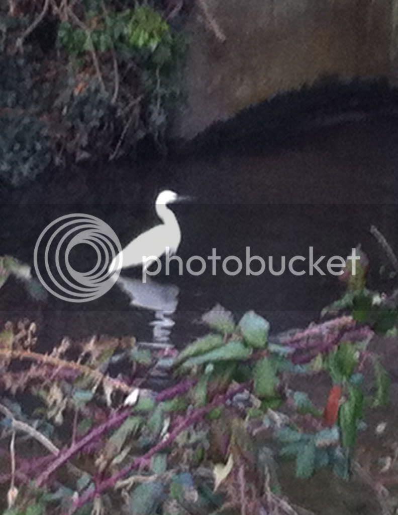 Little Egret, Tiffey 10.03.12