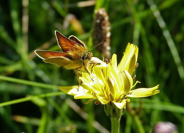27628 - Large Skipper, Burry Holms