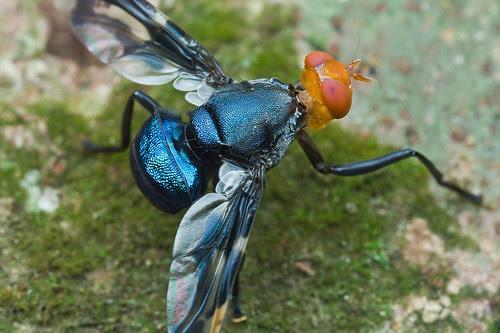 Signal fly, Platystomatidae, a species of Loxonevra near decora Fabricius IMG_9583 copy