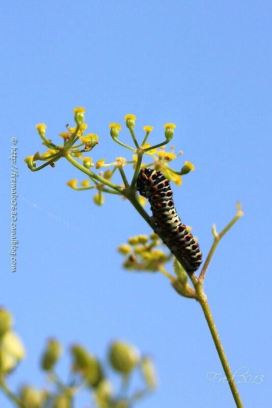 Papilio machaon - stade 4