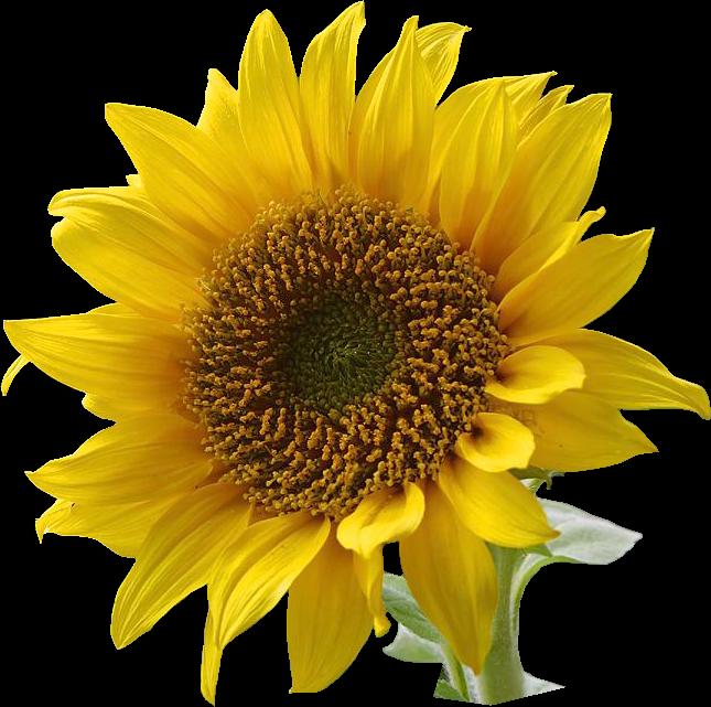Sunflower profile clipart - Clipground