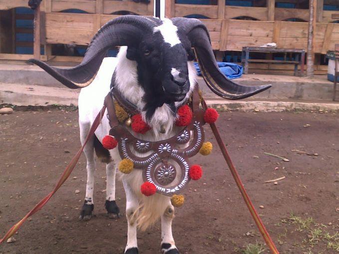 Foto Foto Gagahnya Domba Aduan Asli Garut Jawa Barat