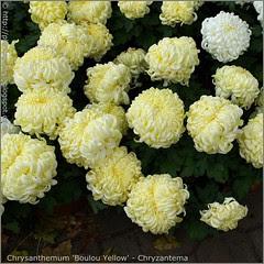 Chrysanthemum 'Boulou Yellow' - Chryzantema