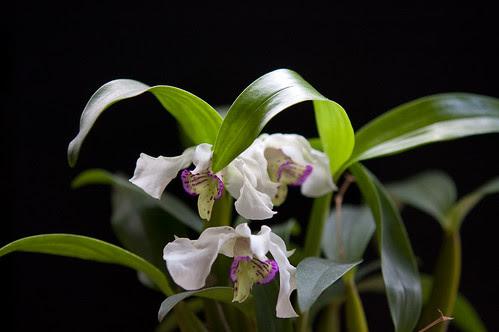 Dendrobium Nora Tokunaga by Itajaí de Albuquerque