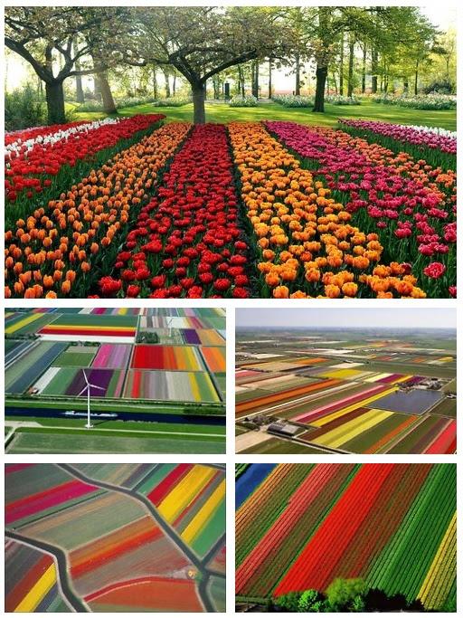 Campos de tulipas na Holanda (via Publistagram)