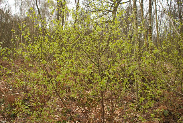 DSC_3782 Birch
