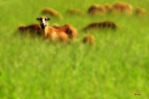 004  Bầy cừu trên cánh đồng cỏ