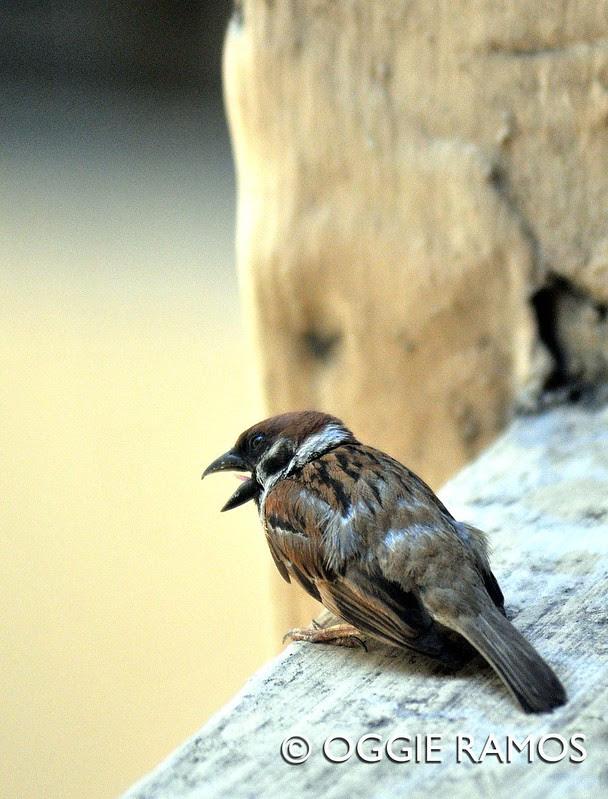Wildlife outside my window II - City Sparrow