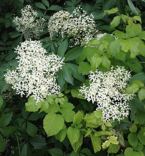 fiori sambuco-elder flowers