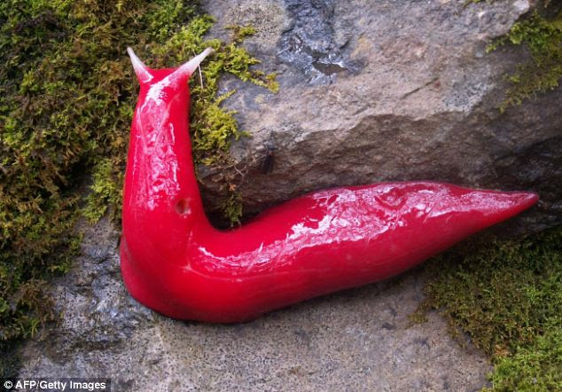 The unique giant fluorescent pink slug Triboniophorous aff. graeffei found only in the misty Mount Kaputar area of north-western New South Wales, Australia.