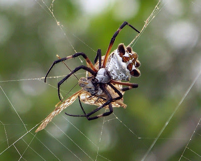 Weaving Spider