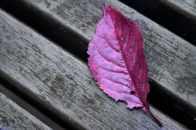 Purple leaf on bench