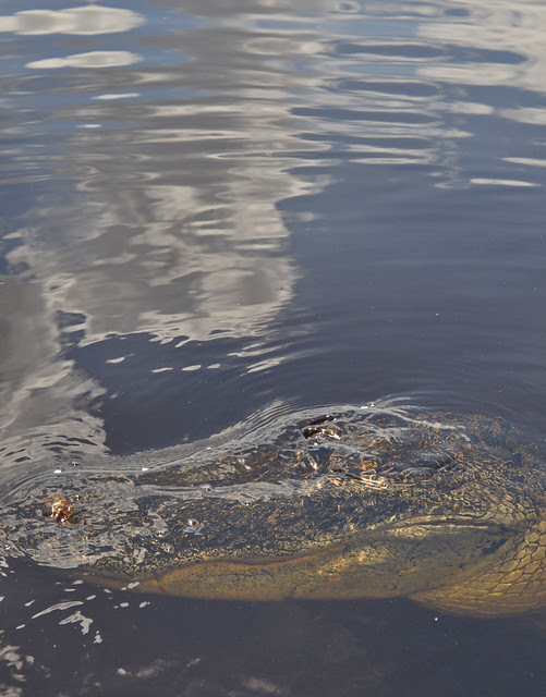 Everglades (25)