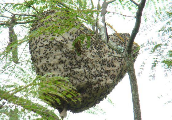 paulistinha avispa