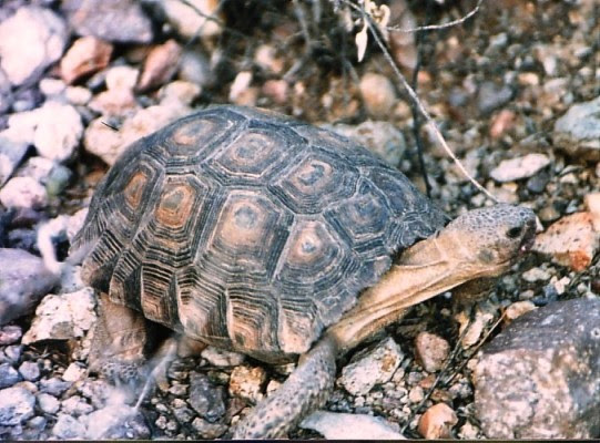 desert tortoise, Tucson, circa 1987