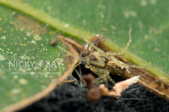 Nursery Web Spider (Pisauridae) - DSC_0284