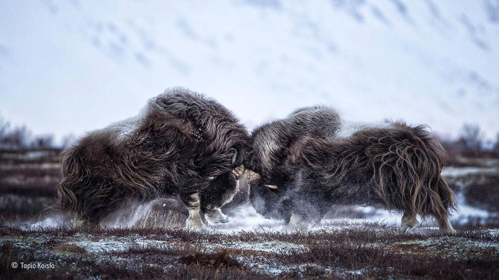 Овцебыки в Норвегии