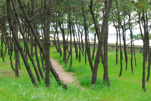 pine woods at the beach