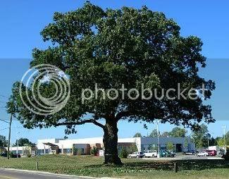 250 year old White Oak Tree in Oakville, Ontario