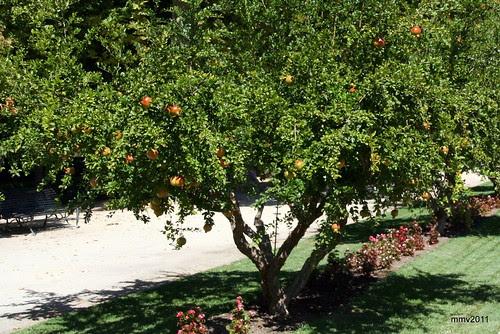 granados y granadas en los jardines de aranjuez
