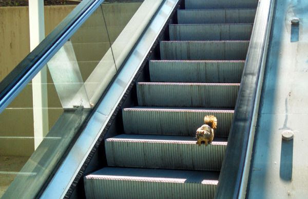 A squirrel lingers on an inactivated escalator that connects the Lower Campus to the Upper Campus at Cal State Long Beach...on January 3, 2015.