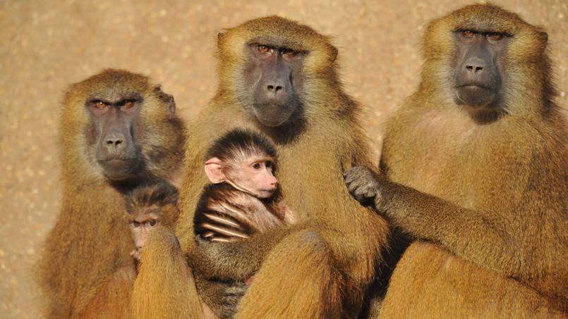 Uyumi et ses congénères babouins n'ont pas franchement l'air jovial, mais ils ont pourtant de quoi se réjouir. L'équipe du Zoo de Vincennes ne doute pas du succès de ces singes appréciés auprès des parraineurs.