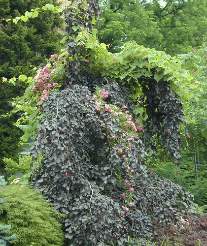 Weeping Red Beech with Climbing Roses & grape vine