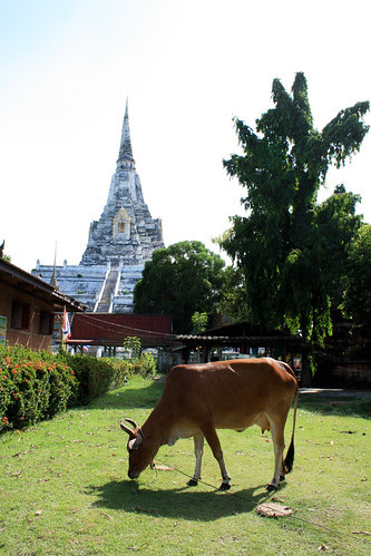 Temple Cow